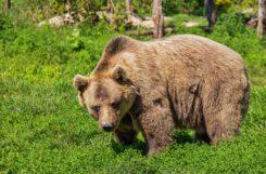 Promenons-nous dans les bois …Ours y es-tu ?